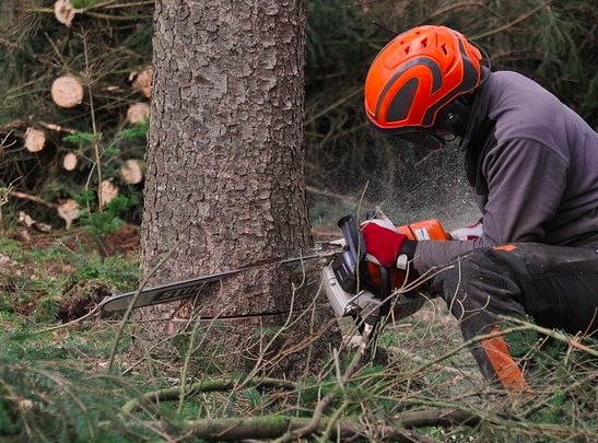 cutting base of tree with chainsaw
