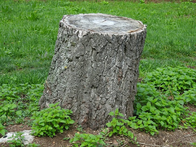 tree stump after cutting